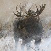 Winter Moose in Willows