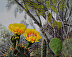 White-wing and cactus flowers by Sue Sill