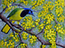 Green Jay in Huisache by Sue Sill