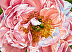 Peony, Coral Charm by MARY ANN NEILSON