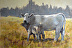 Molly and Her Smokey Calf  #671 by Pat Stoddard Aragon