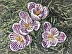 Striped Crocuses by Ruth Greenlaw