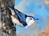 White-breasted Nuthatch by Zoe Schumaker