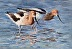 American Avocets by Lucy Yanagida