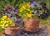 Pots of Pansies by barbara donahue