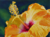 Yellow Hibiscus by Gwen Revino