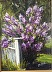 Lilacs in Bloom by Marcia Zahr