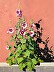 Hollyhocks and Adobe Giclee Print by Terry Lacy