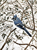 blue jay by James McCue