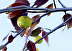 Branches with Apples by Susan Frank