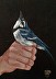 """""""Blue Jay"""" by Victoria Simmons"""