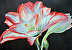 Double Delight (Amaryllis) by Lyn Gill