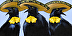 three amigos grackels for webpage by Christy Stallop