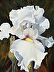 White Iris Portrait by Mary Hill